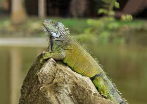 Green_Iguana_Cayambe