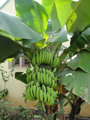 Banana Bunch [Photo Credit: Creative Commons 3.0, Thamizhpparithi Maari]